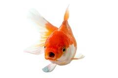 在白色背景的金鱼:裁减路线 免版税库存照片