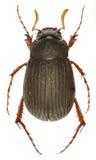 在白色背景的金龟子甲虫Maladera 库存图片