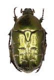 在白色背景的金龟子甲虫Protaetia 图库摄影