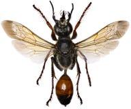 在白色背景的金黄掘土蜂 图库摄影