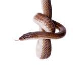 在白色背景的镶边议院蛇 库存图片