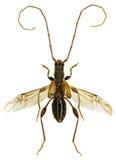 在白色背景的长角牛甲虫Molorchus 库存照片