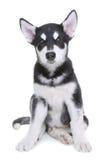 在白色背景的阿拉斯加的爱斯基摩狗小狗在演播室 图库摄影