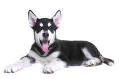 在白色背景的阿拉斯加的爱斯基摩狗小狗在演播室 库存照片