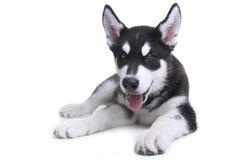 在白色背景的阿拉斯加的爱斯基摩狗小狗在演播室 免版税库存照片