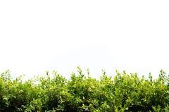 在白色背景的韩国印度榕树 图库摄影