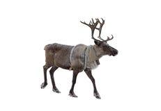 在白色背景的驯鹿 免版税库存图片