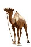 在白色背景的骆驼 库存照片