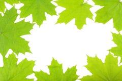 在白色背景的鲜绿色的槭树叶子 库存图片