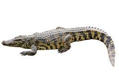 在白色背景的鳄鱼黄色条纹。 免版税库存照片