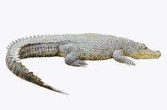 在白色背景的鳄鱼 库存图片