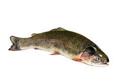 在白色背景的鳟鱼 库存图片