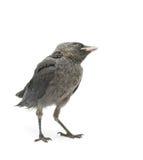 在白色背景的鸟。垂直的照片。 免版税图库摄影