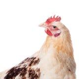 在白色背景的鸡 图库摄影