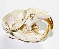 在白色背景的麝香鼠头骨 库存照片