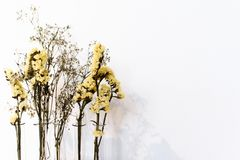 在白色背景的黄色干燥花 免版税图库摄影