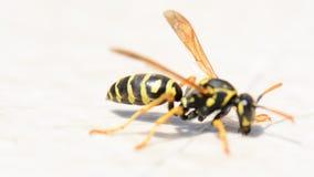 在白色背景的黄蜂昆虫 宏观射击关闭 股票视频