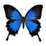 在白色背景的黑和蓝色蝴蝶 免版税图库摄影