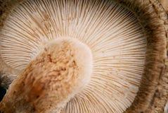 在白色背景的什塔克菇 库存照片