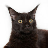在白色背景的黑小猫缅因浣熊 库存图片