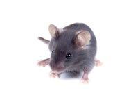 在白色背景的黑小老鼠 免版税库存照片