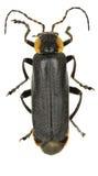 在白色背景的黑战士甲虫 免版税库存图片