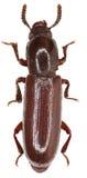 在白色背景的黑暗的甲虫Corticeus 库存图片