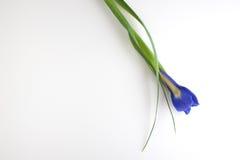 在白色背景的黑暗的紫色虹膜花蕾 库存照片