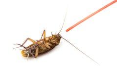在白色背景的死的蟑螂 免版税图库摄影
