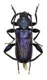 在白色背景的紫罗兰色长角牛甲虫 免版税库存照片