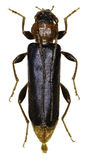 在白色背景的紫罗兰色鞣制革甲虫 免版税图库摄影