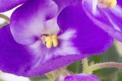 在白色背景的紫罗兰 免版税库存照片