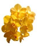 在白色背景的黄色万代兰属兰花 图库摄影