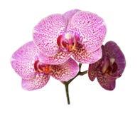 在白色背景的紫色兰花分支 库存照片