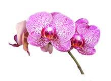 在白色背景的紫色兰花分支 免版税库存照片