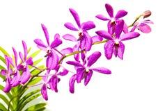 在白色背景的紫色兰花 免版税库存图片