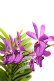 在白色背景的紫色兰花 免版税库存照片