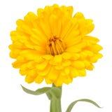 在白色背景的黄色双重金盏草花 免版税库存照片