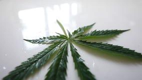 在白色背景的绿色大麻叶子 影视素材