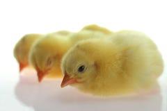 在白色背景的黄色小鸡谎言 免版税库存照片