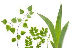 在白色背景的绿色植物叶子 免版税库存照片