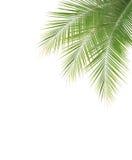 在白色背景的绿色椰子叶子框架 免版税库存照片