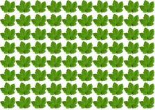 在白色背景的绿色槭树叶子 库存图片