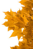 在白色背景的黄色槭树叶子 免版税图库摄影