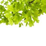 在白色背景的绿色橡树叶子 免版税库存图片