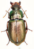 在白色背景的绿色步行虫Harpalus 免版税库存图片