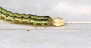 在白色背景的黄绿色毛虫 图库摄影
