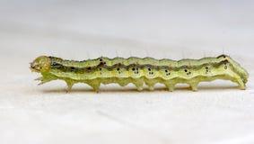 在白色背景的黄绿色毛虫 免版税库存照片