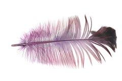 在白色背景的紫色羽毛 库存图片
