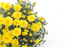 在白色背景的黄色菊花 免版税库存图片